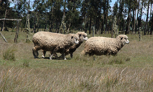 Njabini-sheep-wool