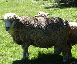 sheep-wool